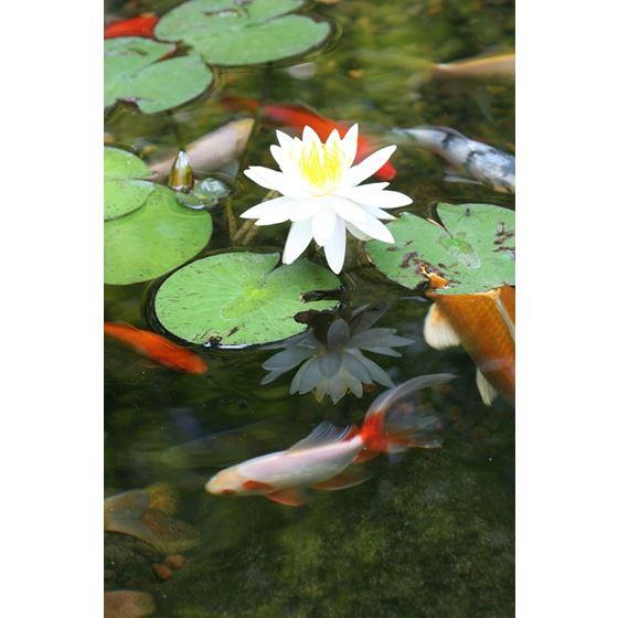 Pond Detoxifier Water Treatment, 1-Gallon Bottle 2
